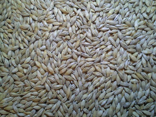 Trophy Spring Barley