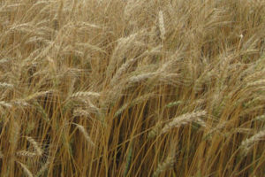 Byrd Hard Red Winter Wheat