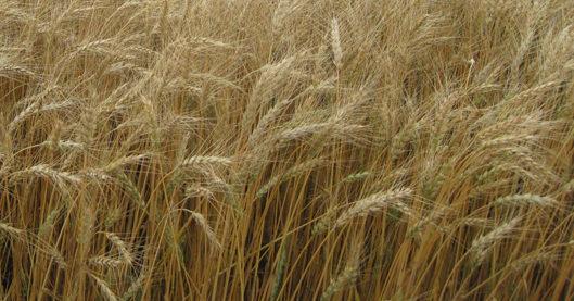 Byrd Hard Red Winter Wheat