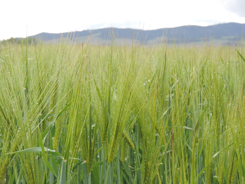 Saturn Winter Feed Barley
