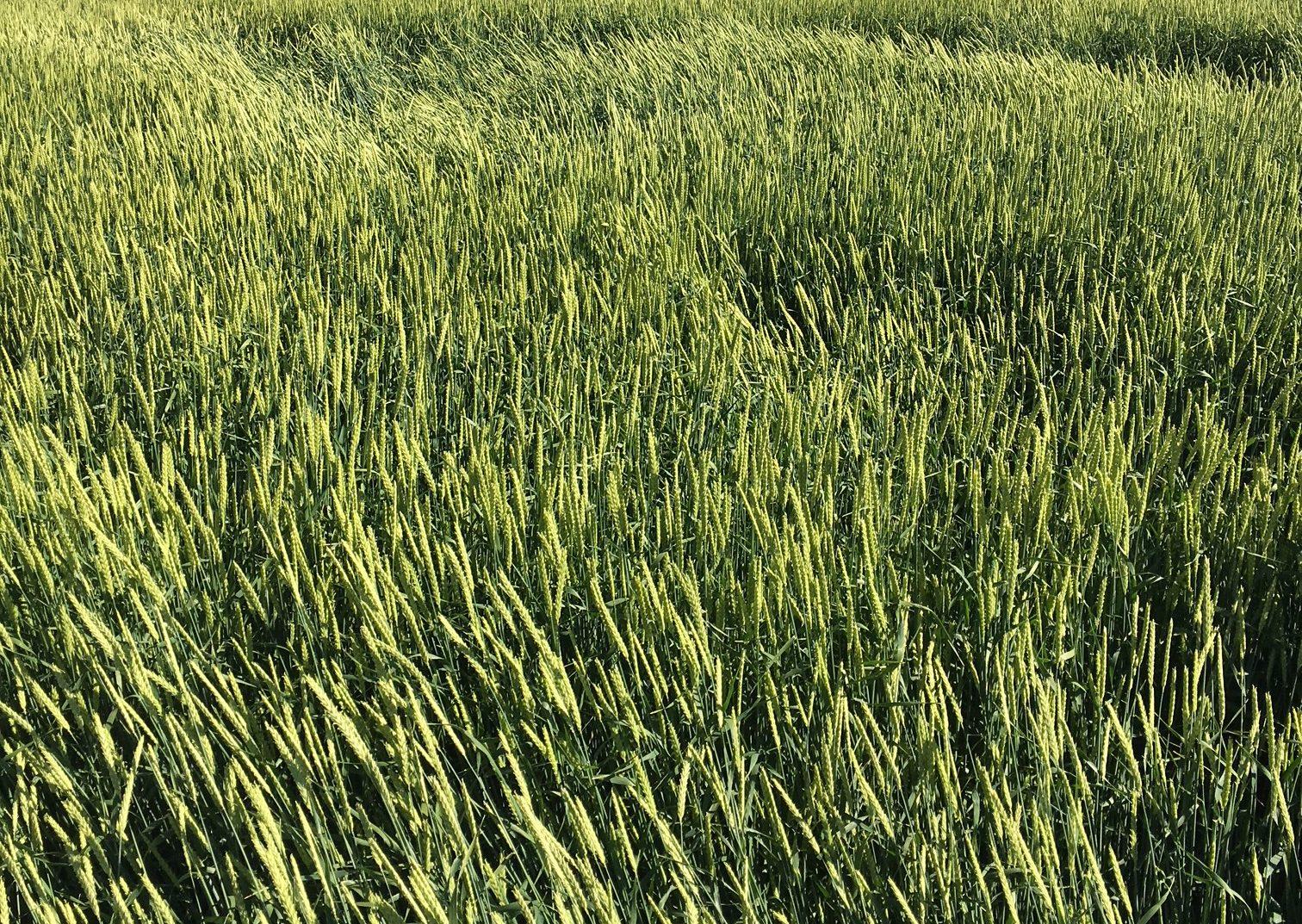 Haymaker Forage Spring Barley