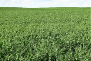 Montech 4193 Yellow Field Pea