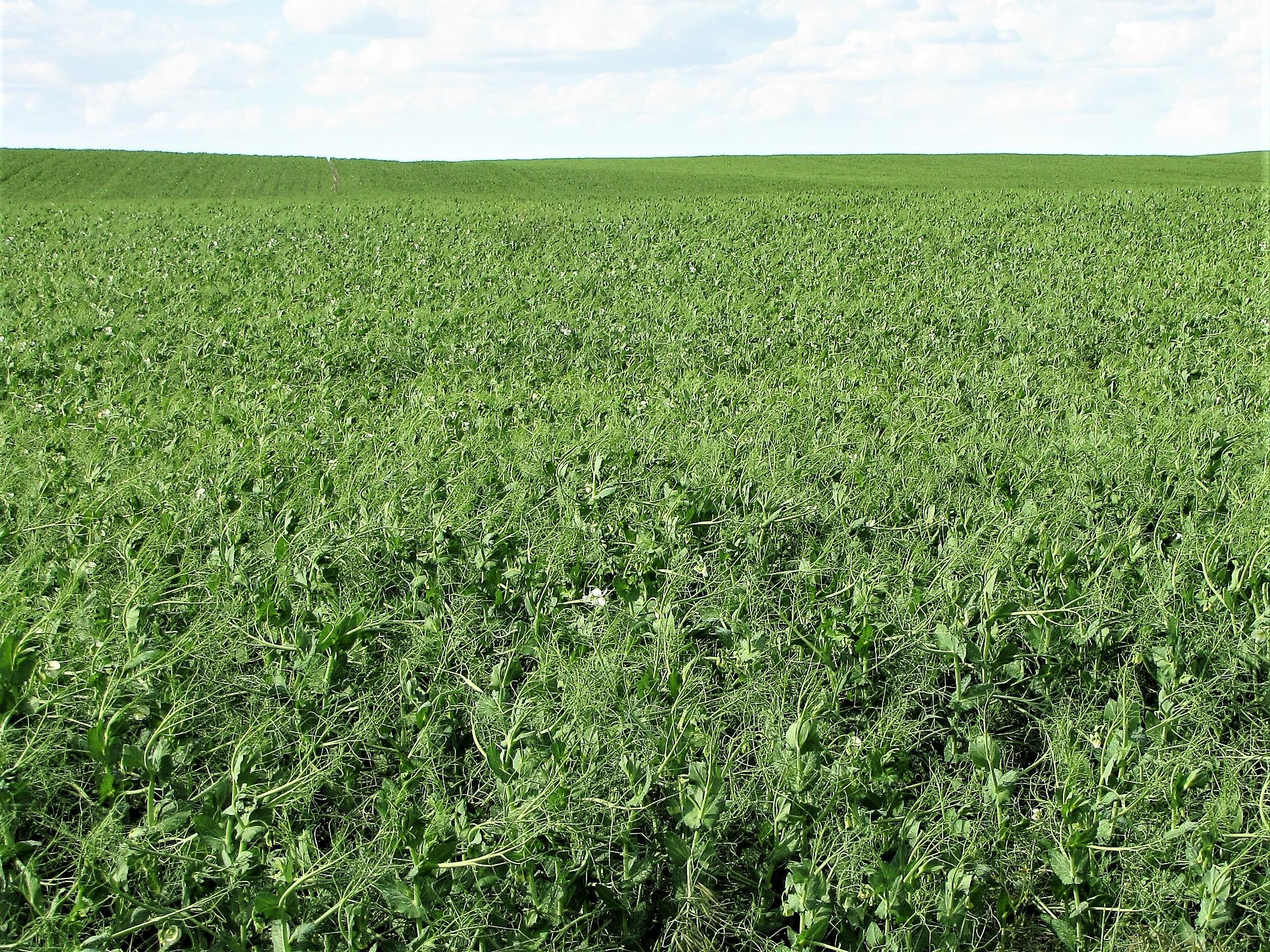 Montech 4193 Yellow Field Pea