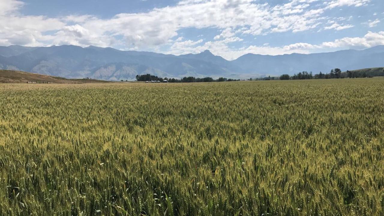 Jett Winter Wheat